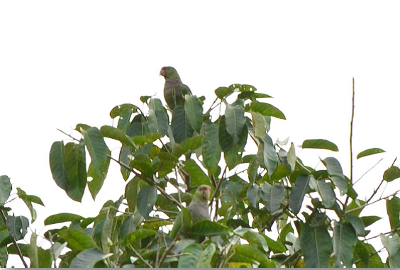 Papagaio-do-Peito-Roxo Amazona vinacea